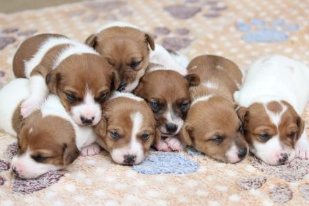 Jack Russell Terrier puppies for sale in Gauteng