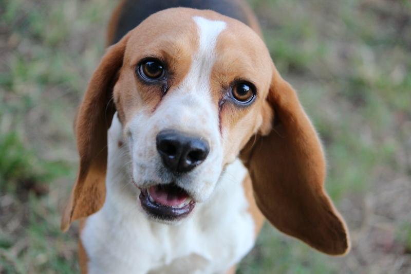 Beagle from registered beagle breeders in Pretoria Gauteng